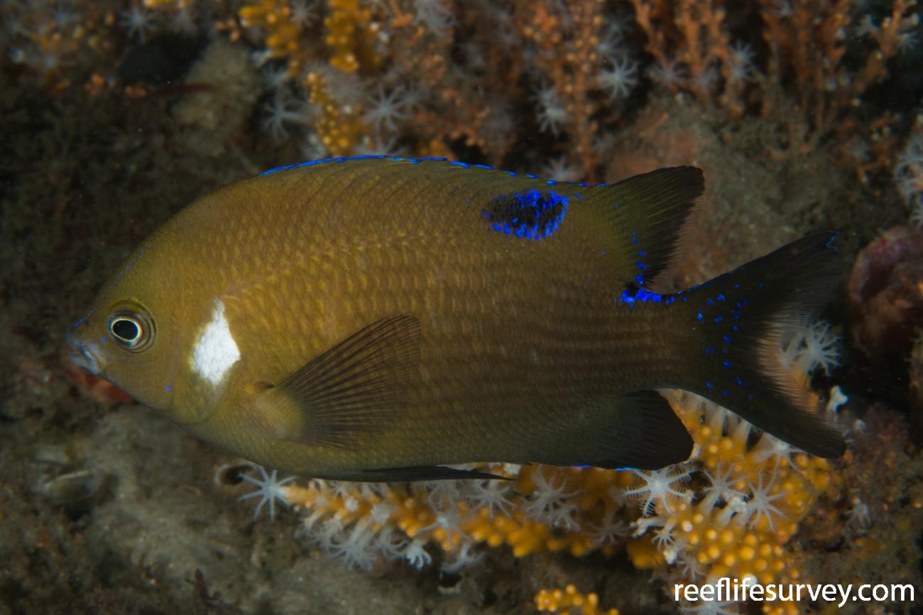 Parma microlepis, Port Stephens, NSW,  Photo: Rick Stuart-Smith