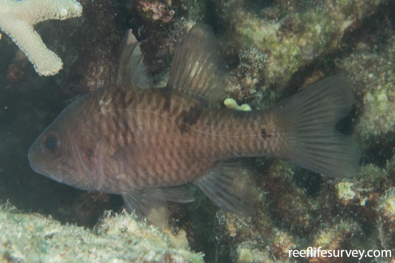 Pristicon trimaculatus, QLD, Australia,  Photo: Rick Stuart-Smith