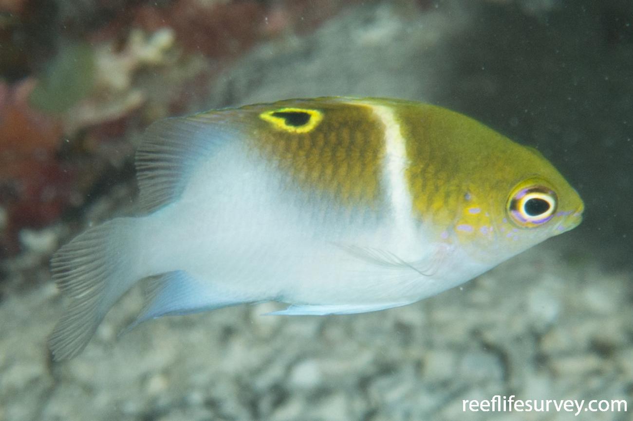 Dischistodus melanotus, Juvenile.  Photo: Rick Stuart-Smith