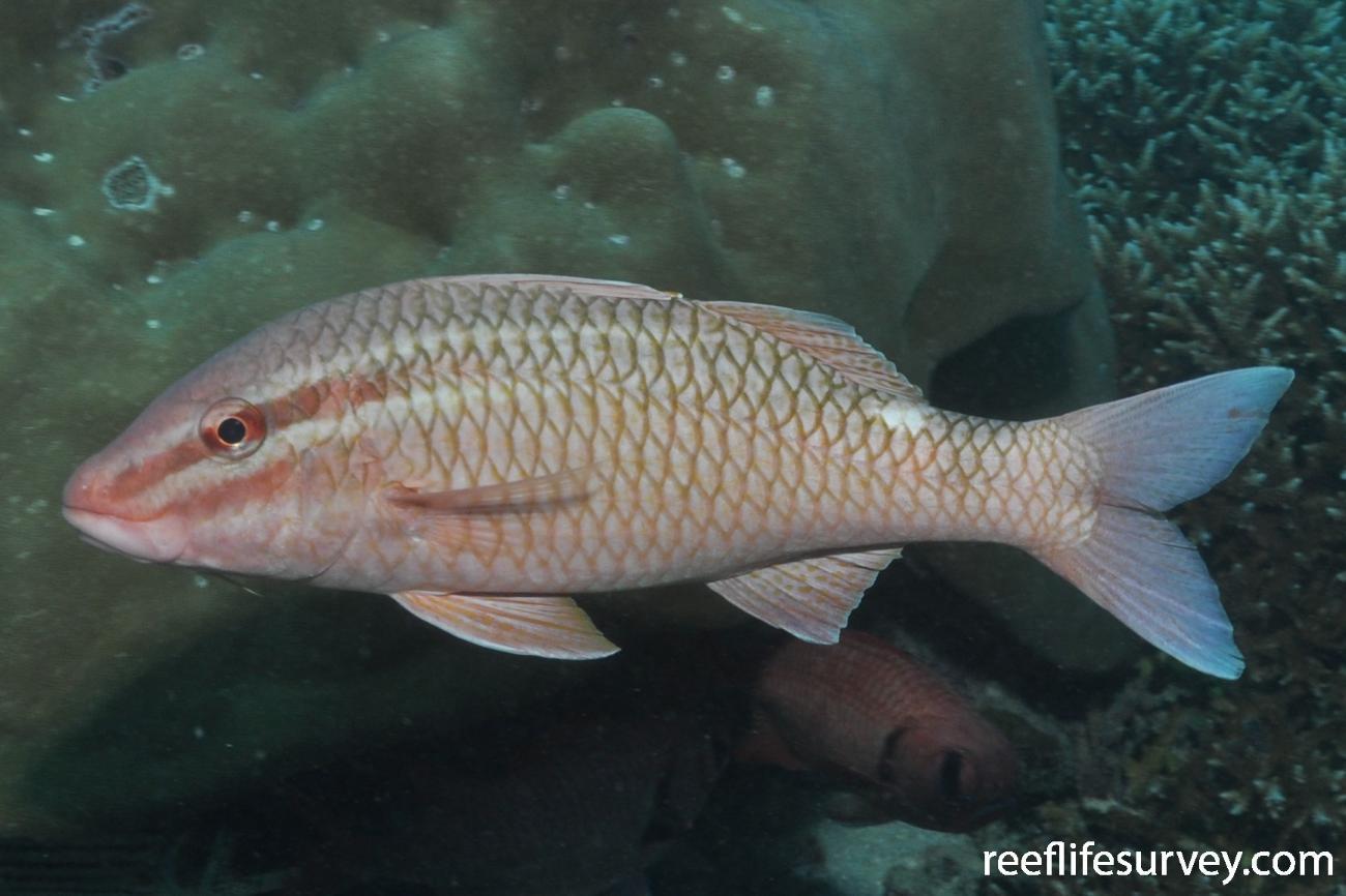 Parupeneus ciliatus, Seychelles,  Photo: Rick Stuart-Smith
