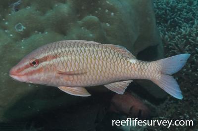 Parupeneus ciliatus: Seychelles,  Photo: Rick Stuart-Smith