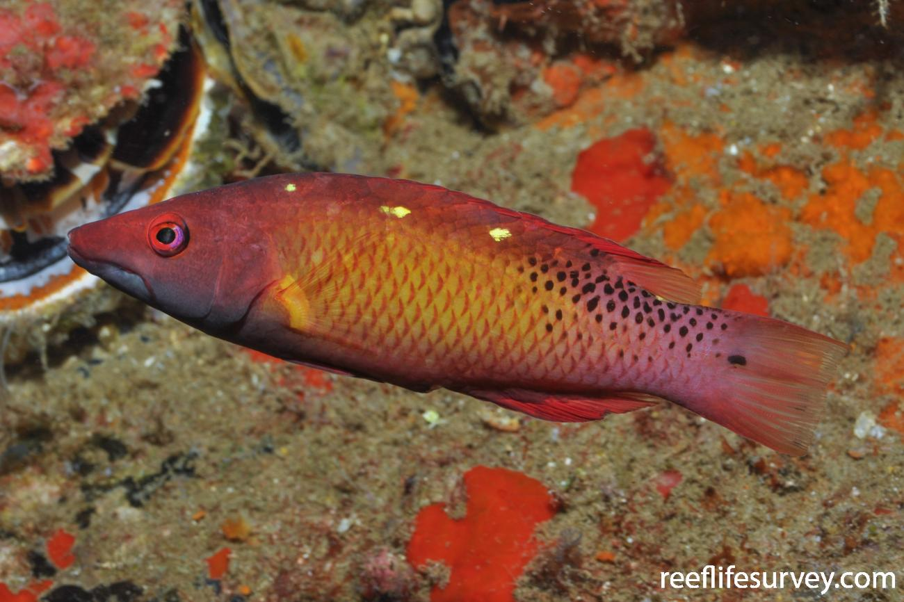 Bodianus diana, Maldives,  Photo: Rick Stuart-Smith