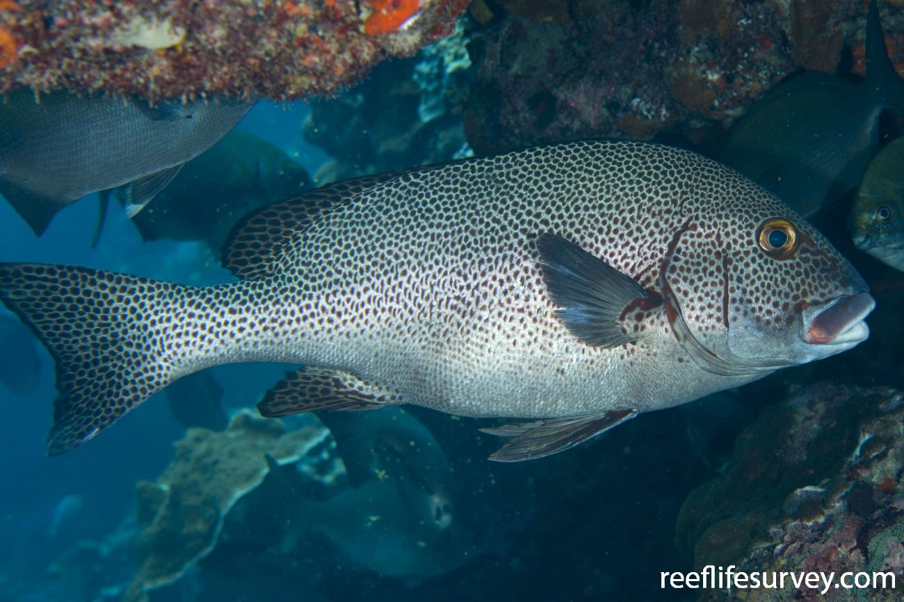Plectorhinchus picus, Lord Howe Is, NSW,  Photo: Andrew Green