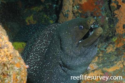 Gymnothorax dovii: Galapagos Islands, Ecuador,  Photo: Graham Edgar