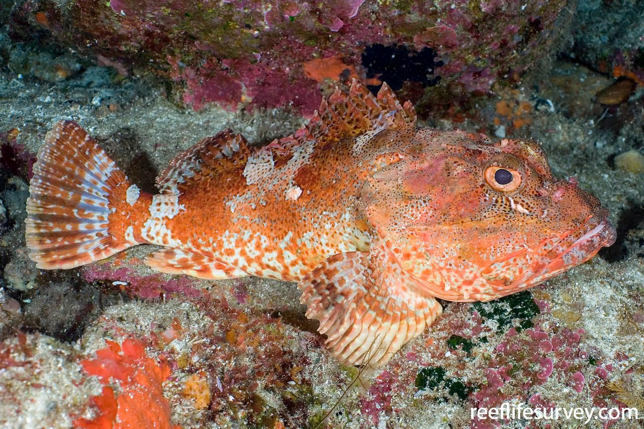 Scorpaena cardinalis, Adult, Lord Howe Is, NSW,  Photo: Andrew Green