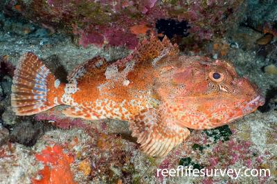 Scorpaena cardinalis: Adult, Lord Howe Is, NSW,  Photo: Andrew Green