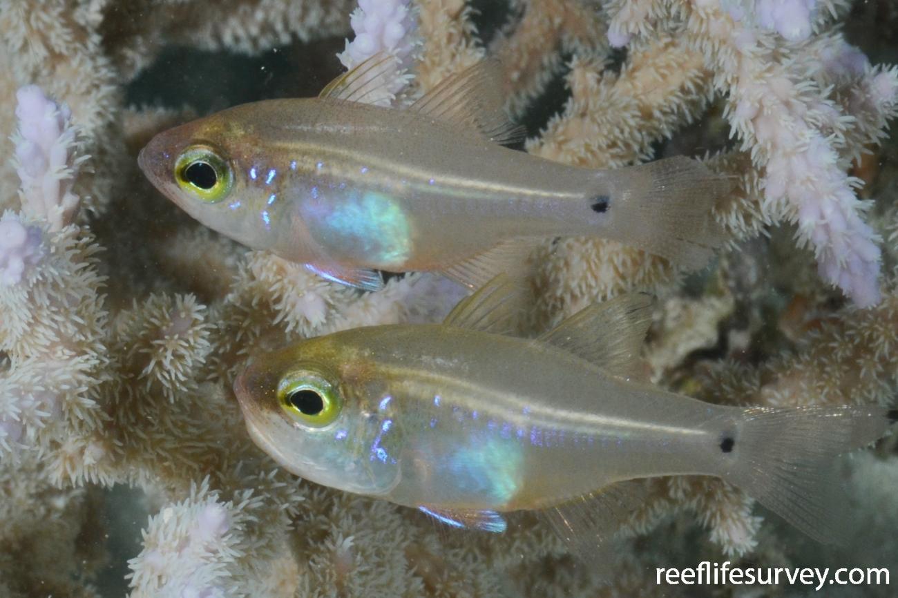 Zoramia fragilis, Northern Great Barrier Reef, Australia,  Photo: Graham Edgar