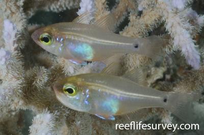 Zoramia fragilis: Northern Great Barrier Reef, Australia,  Photo: Graham Edgar