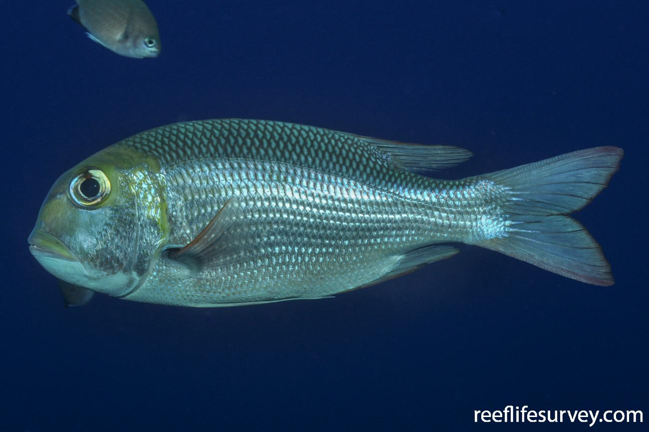 Monotaxis grandoculis, Red Sea, Egypt,  Photo: Rick Stuart-Smith