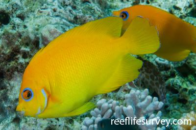 Centropyge flavissima: Naigani Is, Fiji,  Photo: Andrew Green