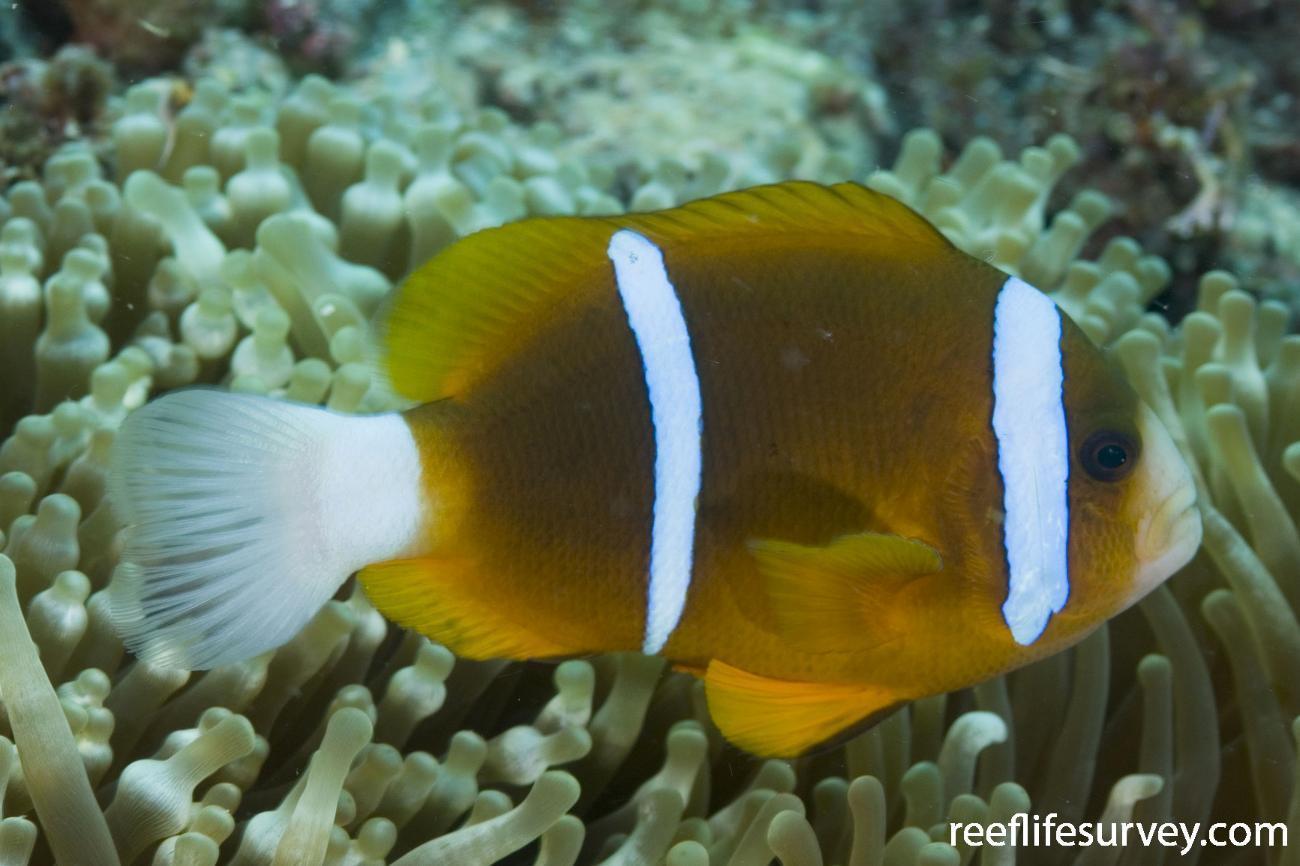 Amphiprion akindynos, Torres Strait, Qld, Australia,  Photo: Andrew Green