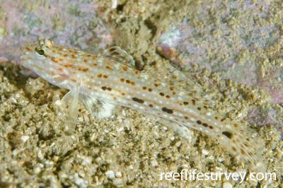 Istigobius decoratus: NSW, Australia,  Photo: Ian Shaw