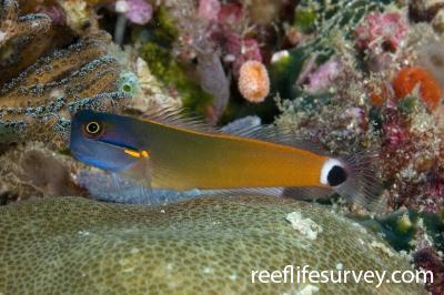 Ecsenius stigmatura: Raja Ampat, Indonesia,  Photo: Andrew Green