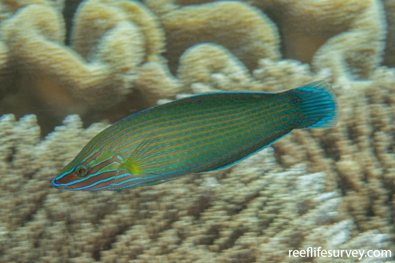 Halichoeres richmondi, Male, Raja Ampat, Indonesia,  Photo: Rick Stuart-Smith