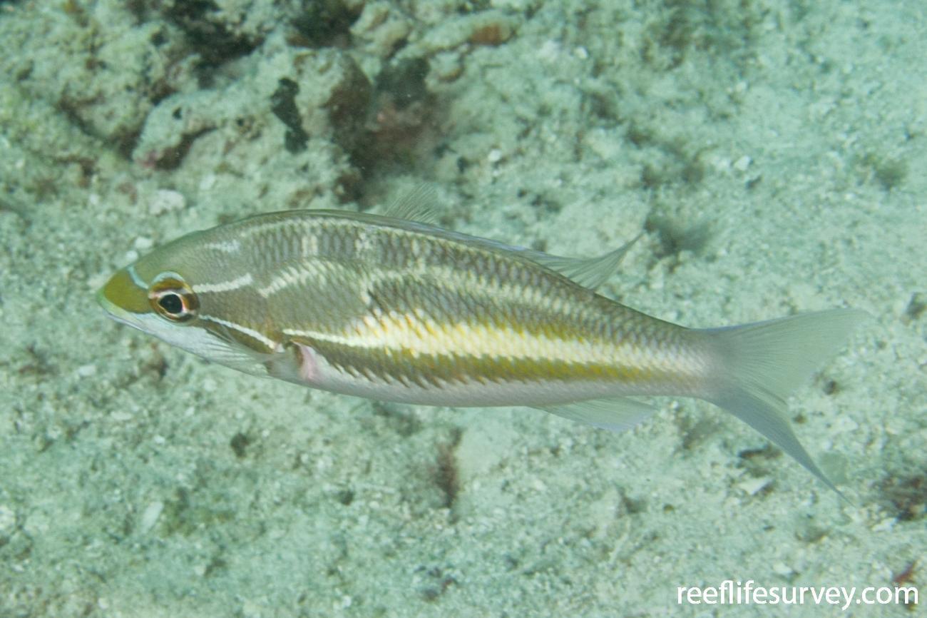 Pentapodus trivittatus, Raja Ampat, Indonesia,  Photo: Rick Stuart-Smith