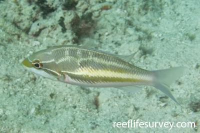 Pentapodus trivittatus: Raja Ampat, Indonesia,  Photo: Rick Stuart-Smith