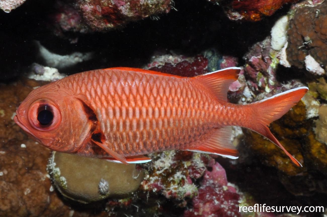 Myripristis murdjan, Red Sea,  Photo: Rick Stuart-Smith