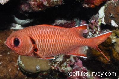 Myripristis murdjan: Red Sea,  Photo: Rick Stuart-Smith