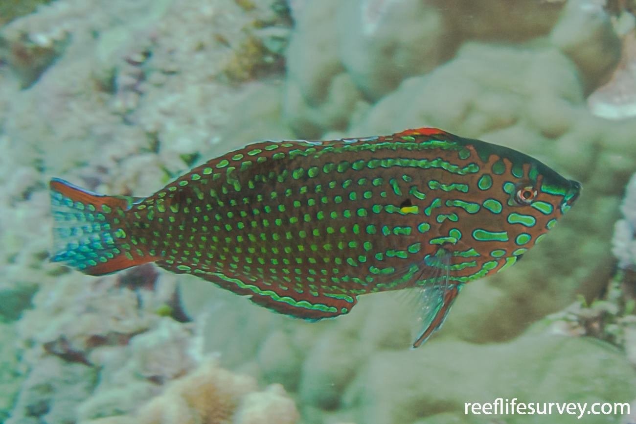 Macropharyngodon meleagris, Male, Coral Sea, Australia,  Photo: Rick Stuart-Smith