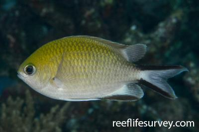 Chromis scotochiloptera: Raja Ampat, Indonesia,  Photo: Rick Stuart-Smith