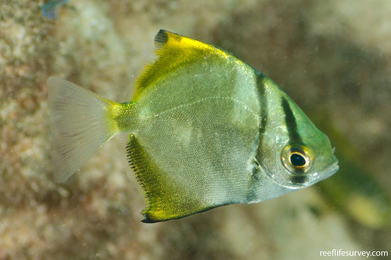 Monodactylus argenteus, Juvenile, Coffs Harbour, NSW,  Photo: Ian Shaw