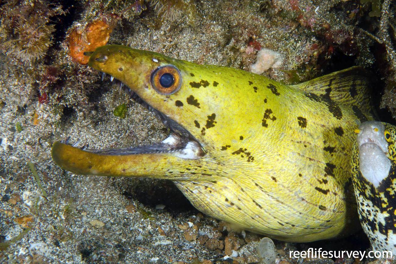 Gymnothorax fimbriatus, Adult, Sulawesi, Indonesia,  Photo: Ian Shaw