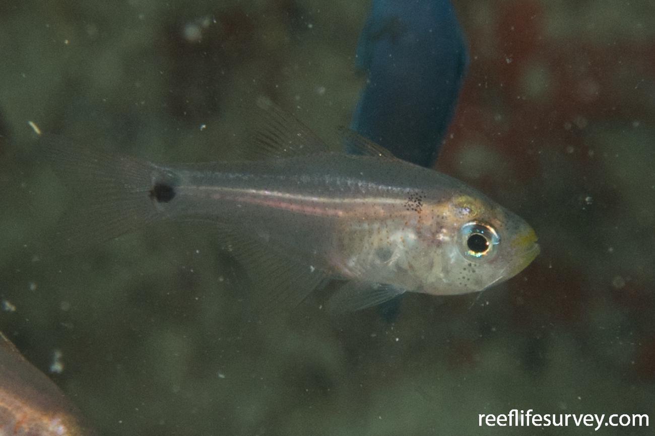 Taeniamia biguttata, Juvenile, QLD, Australia,  Photo: Rick Stuart-Smith