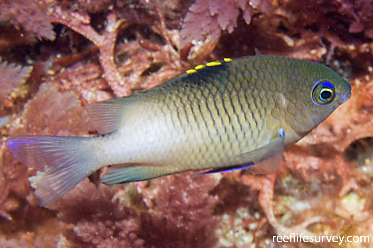 Stegastes fasciolatus, Juvenile, NSW, Australia,  Photo: Andrew Green