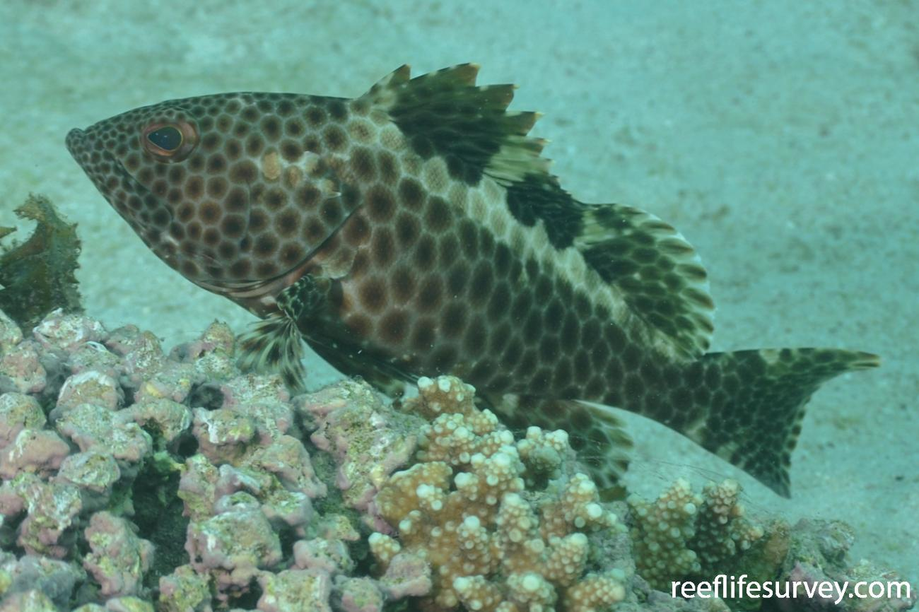 Epinephelus bilobatus, Adult.  Photo: Rick Stuart-Smith