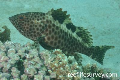 Epinephelus bilobatus: Adult.  Photo: Rick Stuart-Smith