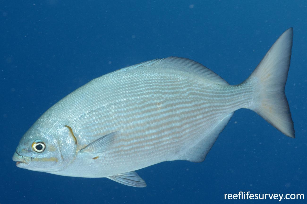 Kyphosus vaigiensis, Adult, Osprey Reef, Coral Sea,  Photo: Graham Edgar