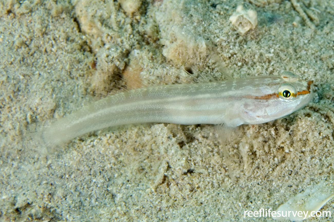 Amblygobius nocturnus, Lord Howe Is, NSW, Australia,  Photo: Andrew Green