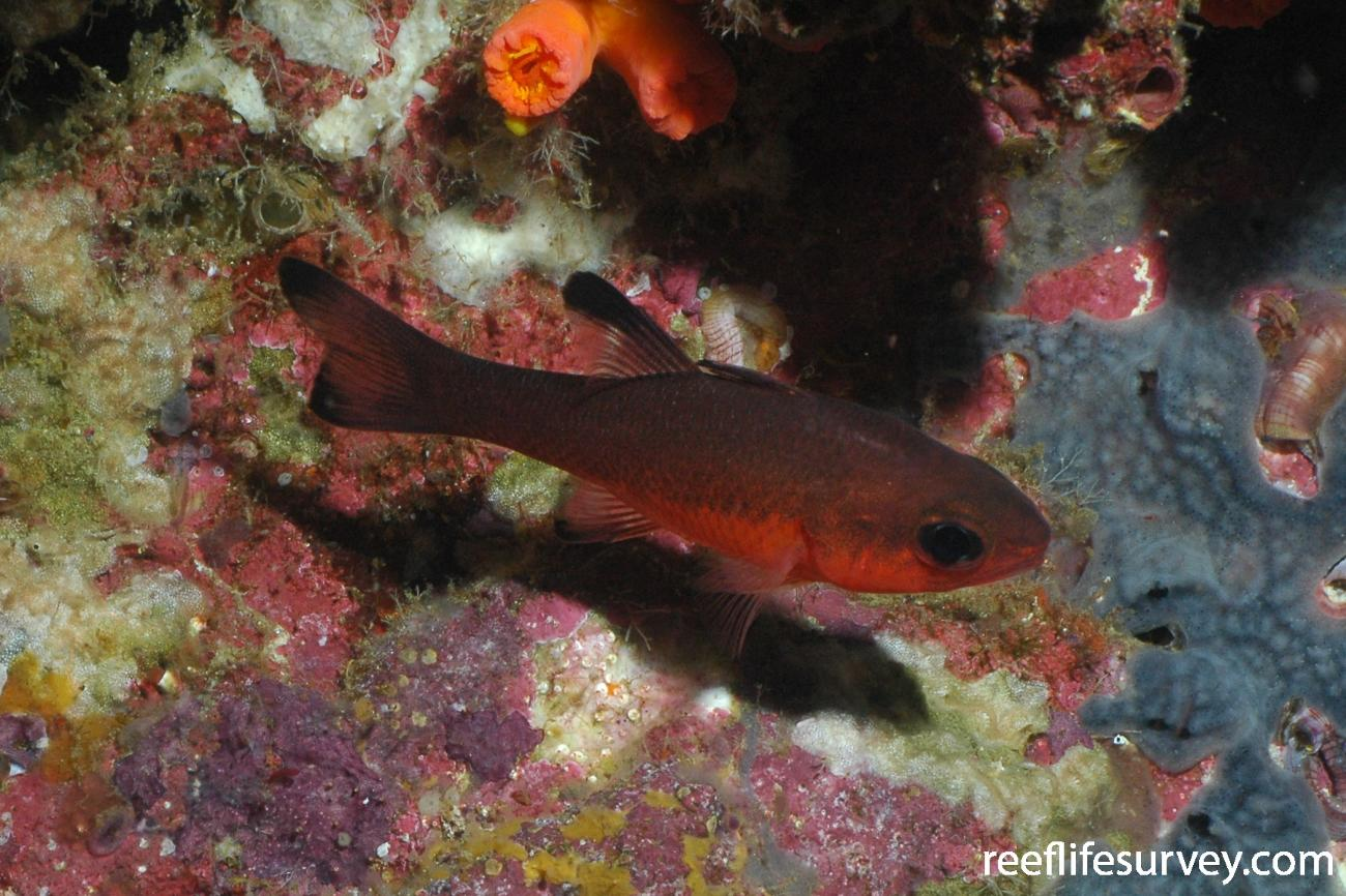 Apogon atradorsatus, Galapagos, Ecuador,  Photo: Graham Edgar