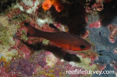 Apogon atradorsatus: Galapagos, Ecuador,  Photo: Graham Edgar