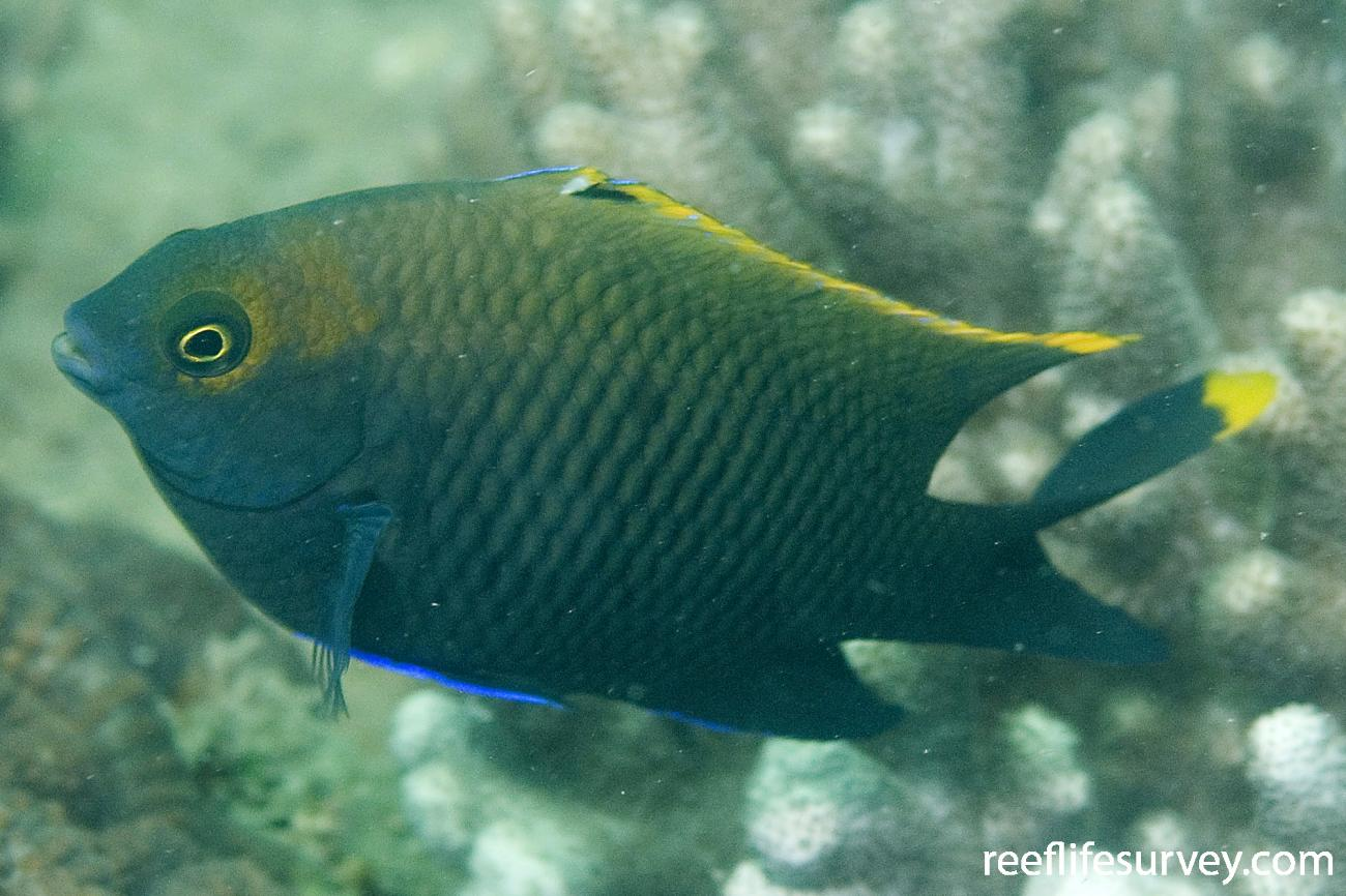 Stegastes apicalis, Adult, Coombe Is, Great Barrier Reef, QLD,  Photo: Andrew Green