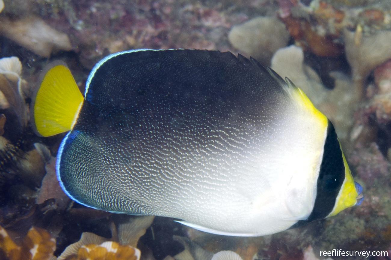 Chaetodontoplus mesoleucus, Adult, Sulawesi, Indonesia,  Photo: Ian Shaw
