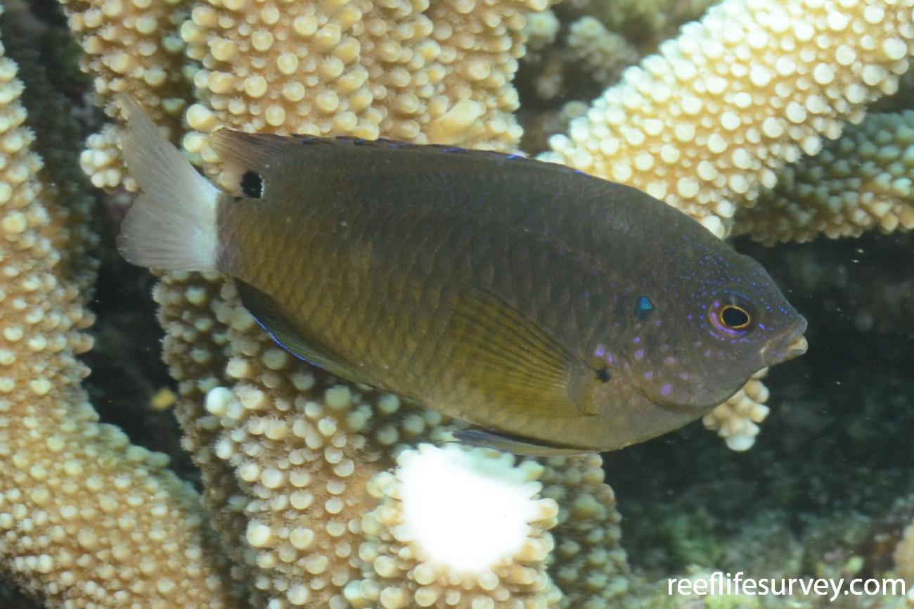 Pomacentrus bankanensis, QLD, Australia,  Photo: Joe Shields