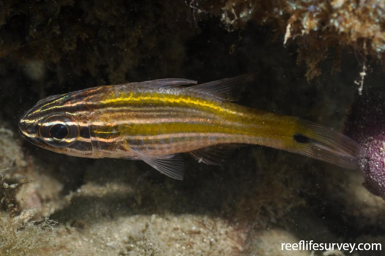 Ostorhinchus cavitensis, Adult.  Photo: Rick Stuart-Smith