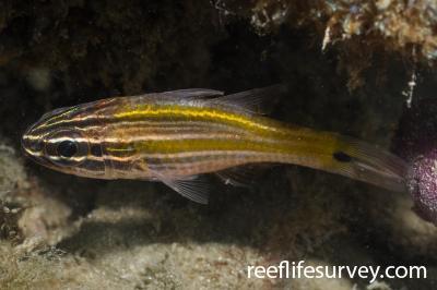 Ostorhinchus cavitensis: Adult.  Photo: Rick Stuart-Smith