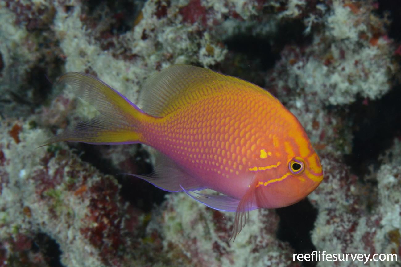 Serranocirrhitus latus, Diamond Islet, Coral Sea,  Photo: Graham Edgar