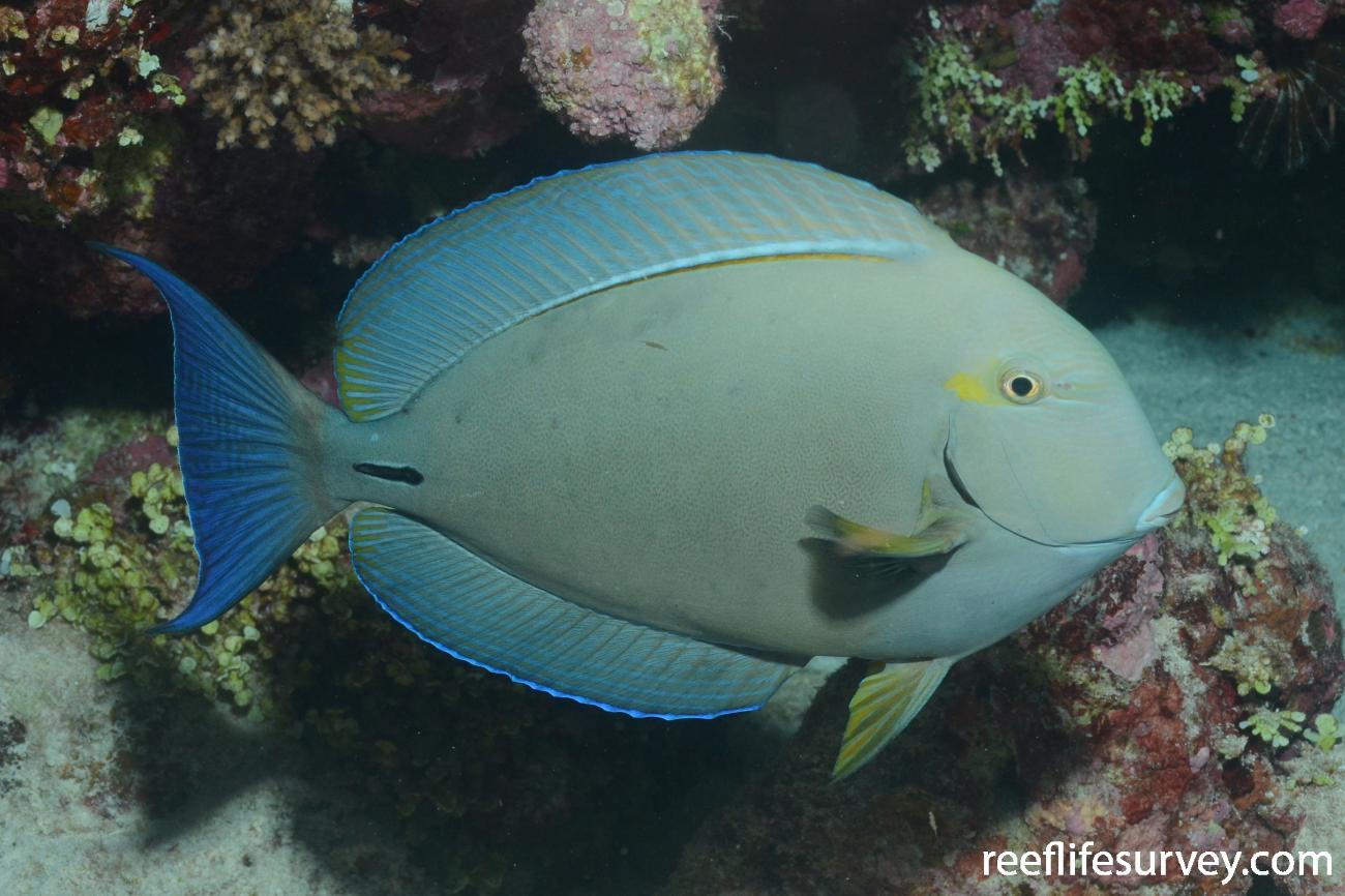 Acanthurus blochii, Coral Sea, Australia,  Photo: Graham Edgar