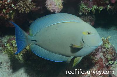 Acanthurus blochii: Coral Sea, Australia,  Photo: Graham Edgar