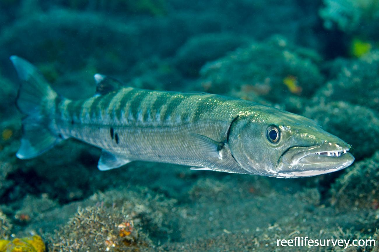 Sphyraena barracuda, Bali, Indonesia,  Photo: Ian Shaw
