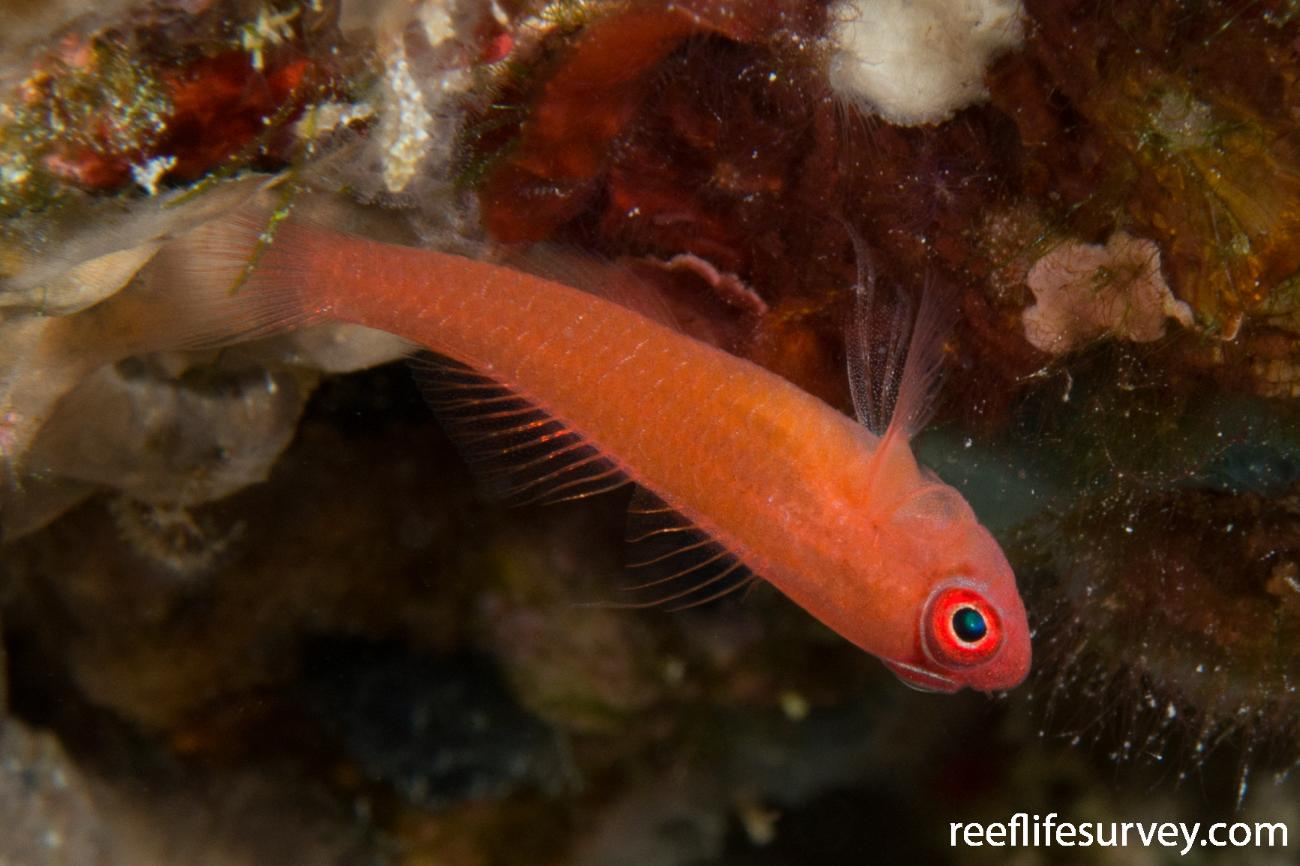 Trimma benjamini, Raja Ampat, Indonesia,  Photo: Rick Stuart-Smith