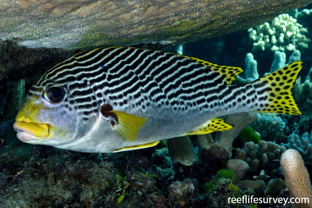 Plectorhinchus lineatus, Adult, Coral Sea, QLD,  Photo: Andrew Green