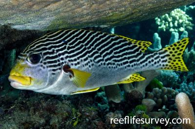 Plectorhinchus lineatus: Adult, Coral Sea, QLD,  Photo: Andrew Green