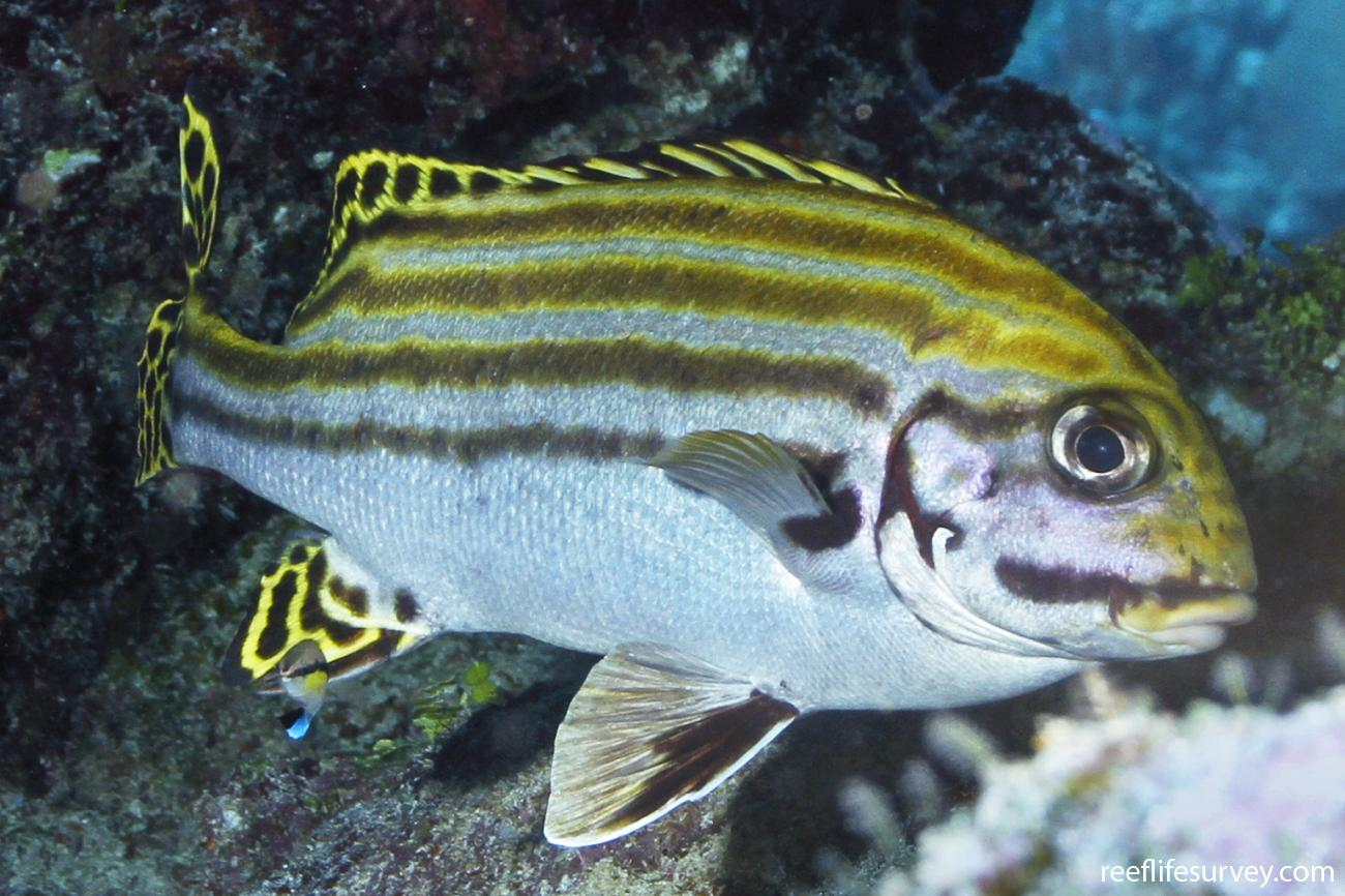 Plectorhinchus lessonii, Coral Sea, Australia,  Photo: Ian Shaw