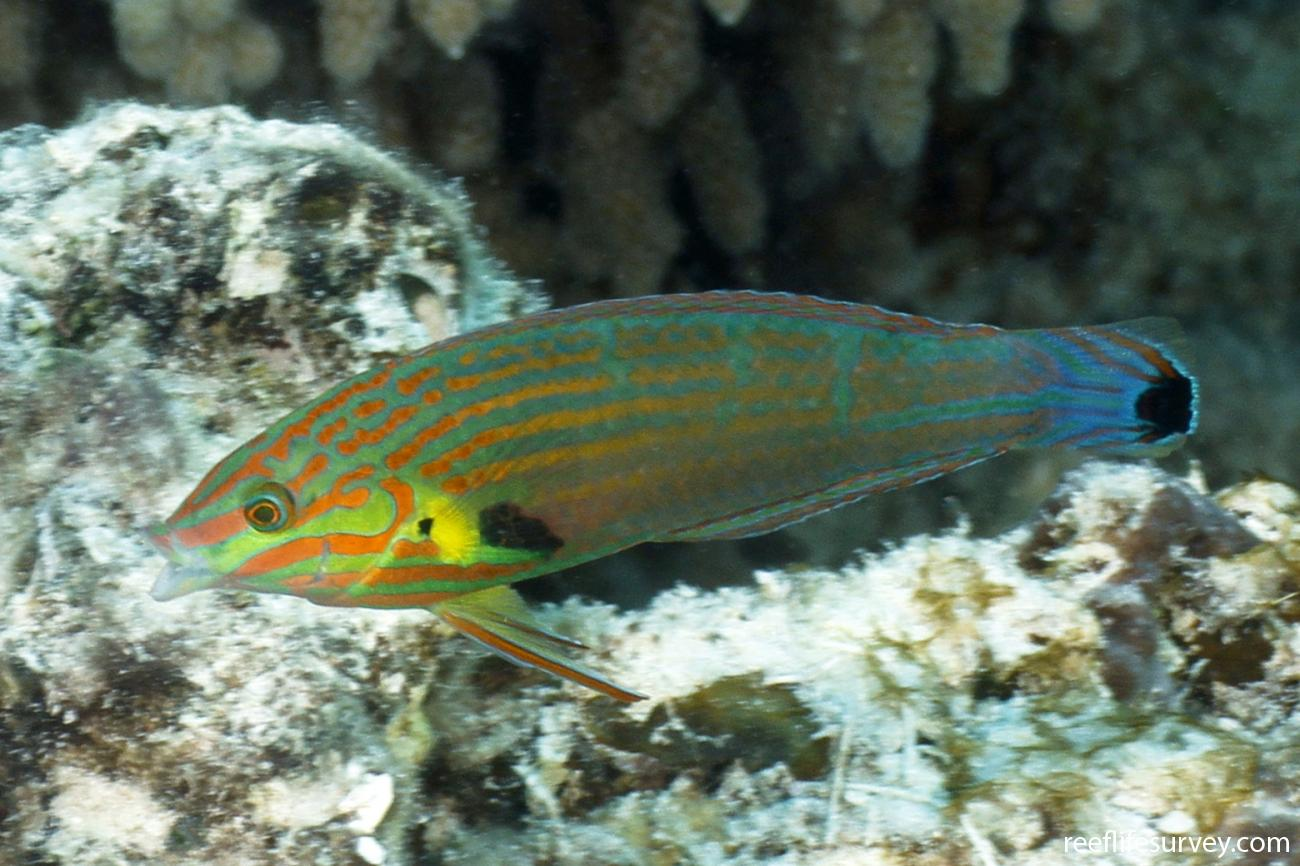 Halichoeres melanurus, Male, Coral Sea, Australia,  Photo: Ian Shaw