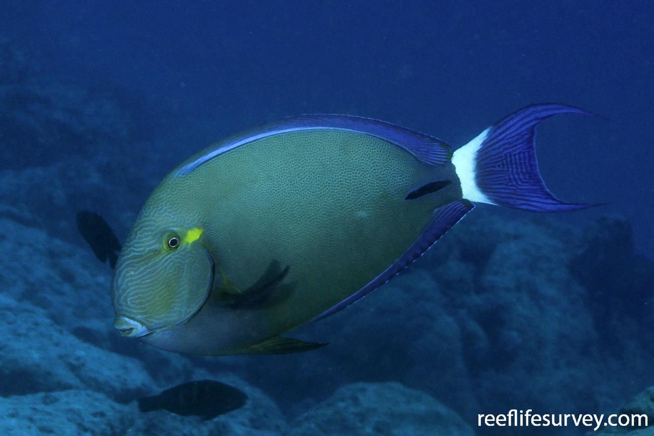 Acanthurus blochii, Coral Sea, Australia,  Photo: Ian Shaw