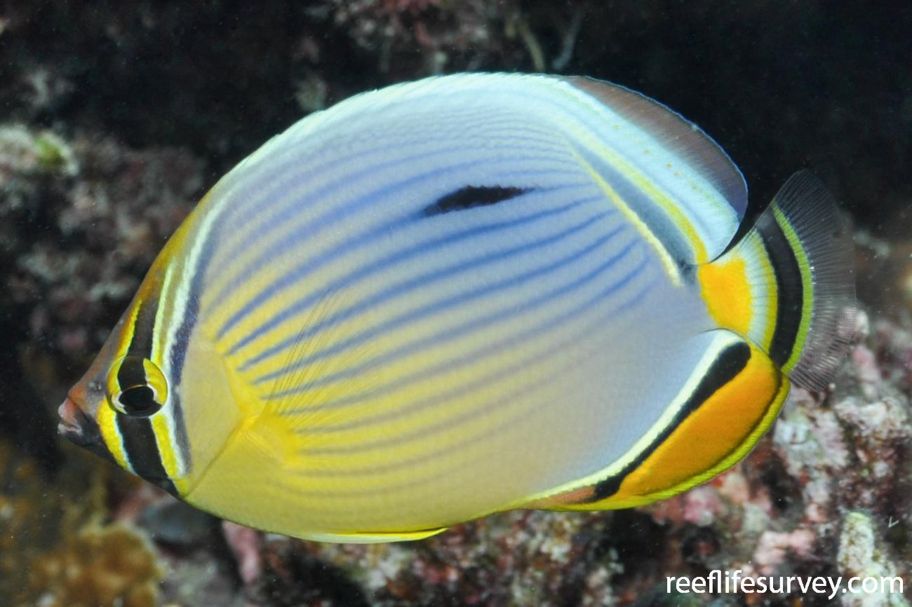 Chaetodon trifasciatus, Adult.  Photo: Rick Stuart-Smith